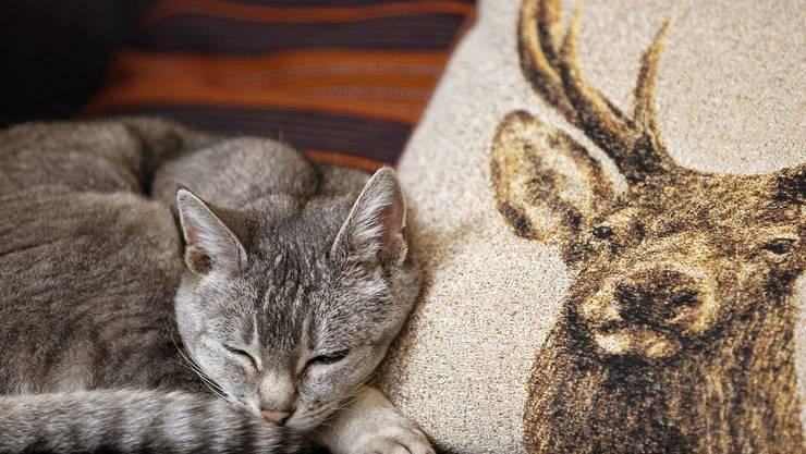 Katzen sind die beliebtesten Haustiere. Rund 1,38 Millionen gibts in der Schweiz
