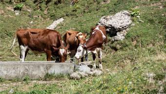 Auf der Alp haben diese Rinder dank der Armee derzeit wieder Wasser zum Trinken. Doch was sie im Winter zu fressen haben, ist derzeit ungewiss.