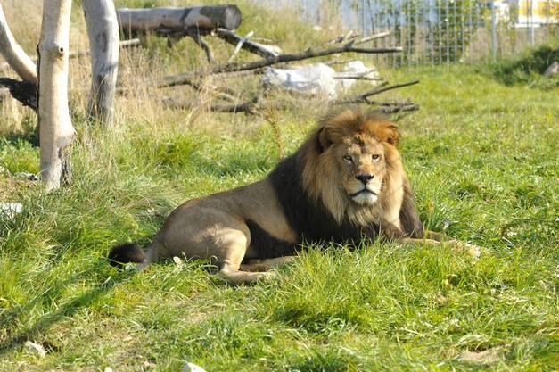 Aufmerksam verfolgt Löwe Zumba das Geschehen
