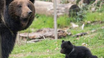 Die Bären im Tierpark Dählhölzli.