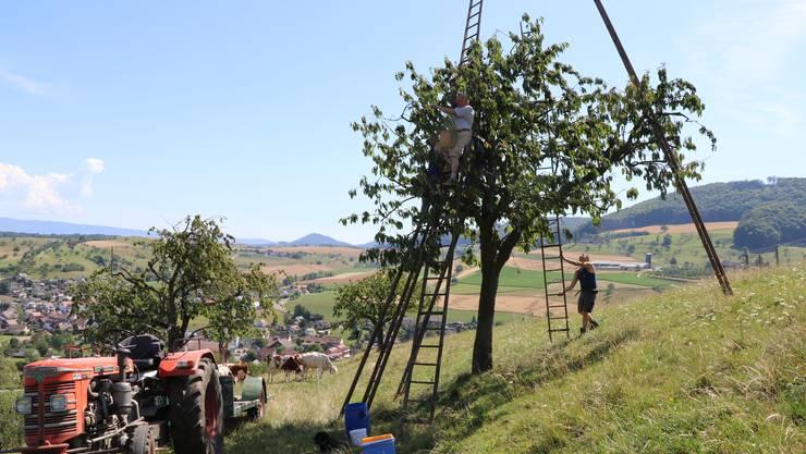 Kirschenpflücken mit der Holzleiter: Ein Bild, das immer mehr aus der Baselbieter Landschaft verschwindet.