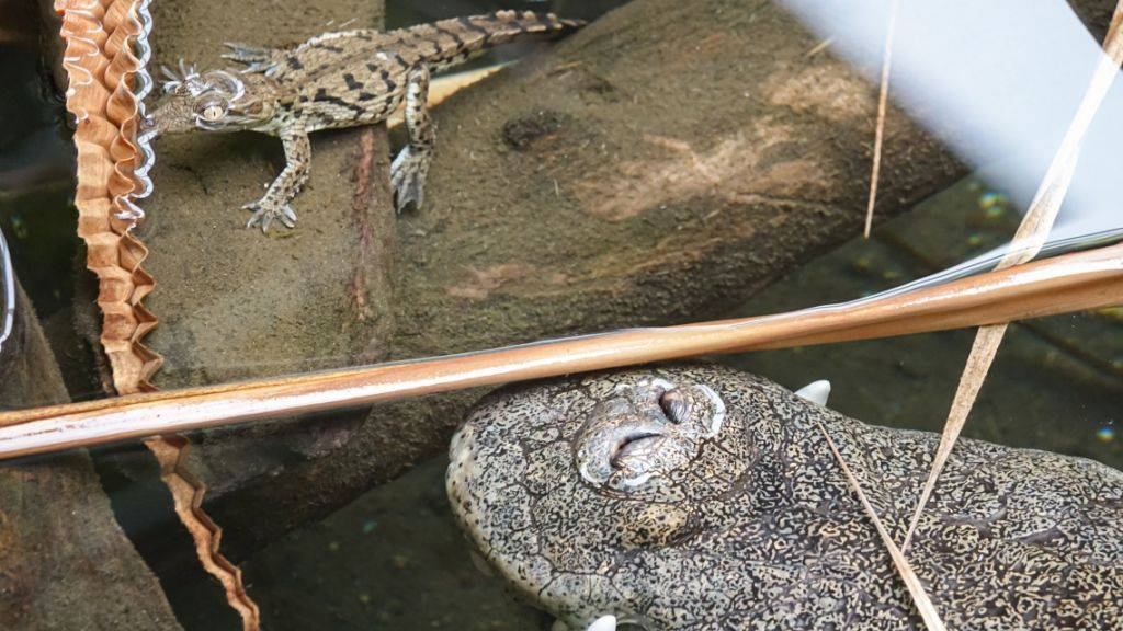 Die kleinen Nilkrokodile können sich auf den Schutz ihrer Eltern verlassen.