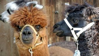 «Die letzten zwei Alpakas habe ich zu meinem Geburtstag geschenkt bekommen», erzählt Besitzerin Anita Amstad.