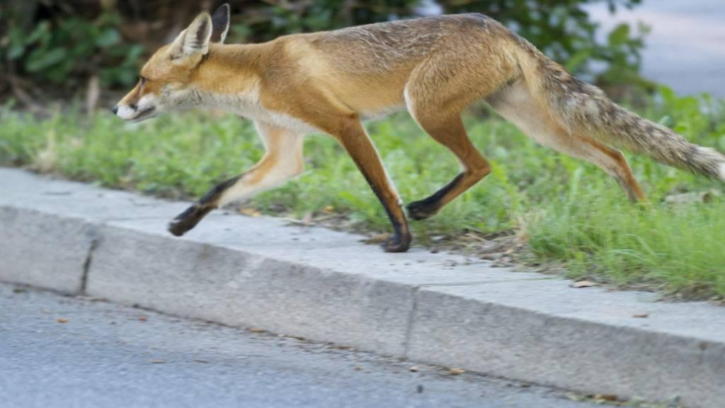Füchse verursachen Sperrung auf jurassischer Autobahn
