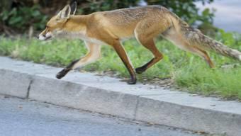 Herumstreunende Füchse haben in der Nacht auf Samstag den Verkehr auf der Autobahn A16 vorübergehend lahmgelegt. (Archivbild)