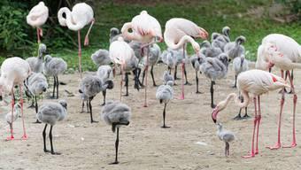 Zoo Basel, Nachwuchs bei den Rosaflamingos