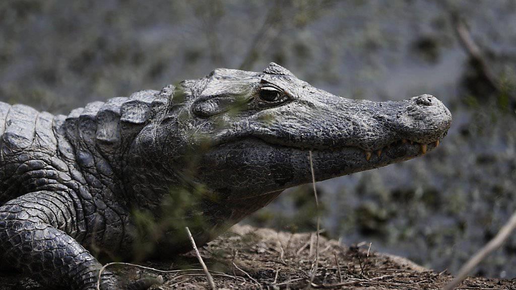 Dorfbewohner schlachten 292 Krokodile ab