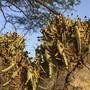 ARCHIV - Heuschrecken ruhen auf einem Baum. Im Kampf gegen die Heuschreckenplage in Ostafrika wurden große Erfolge erzielt - doch die Gefahr ist Experten zufolge noch lange nicht gebannt. Foto: Boris Polo/AP/dpa
