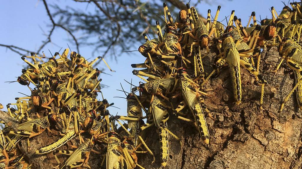 FAO: Gefahr der Heuschreckenplage noch nicht gebannt
