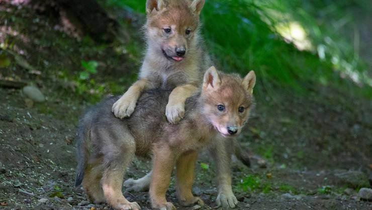 Zwei Wolfswelpen im Zoo Zürich. Im Kanton Jura kamen kürzlich deren fünf zur Welt.