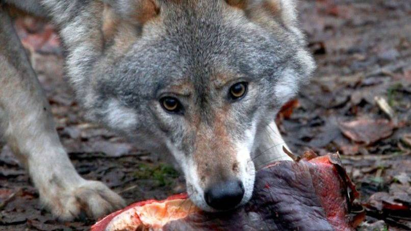 Ein Wolf hat in Werdenberg SG zugeschlagen - und sieben Schafe gerissen (Archiv)