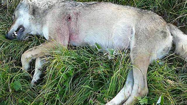 Der von Wildhütern erlegte Walliser Wolf (Bildquelle: Staatskanzlei Wallis)