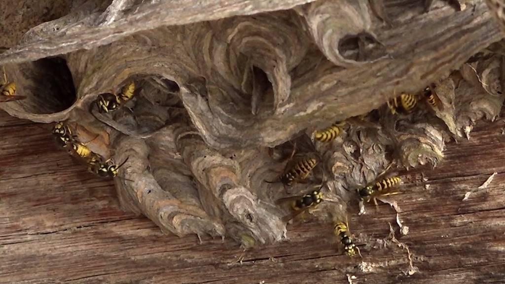 Wespenplage: Wespenstiche haben massiv zugenommen