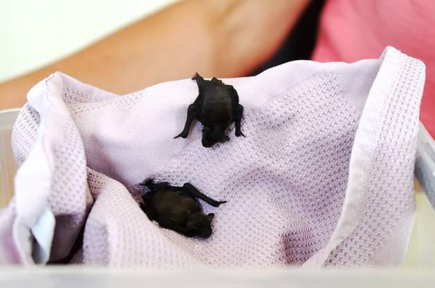 Derzeit pflegt Christine Meier zwei Winzlinge: Die beiden jungen Fledermäuse sind keine fünf Zentimeter gross.