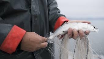 2017 war ein mageres Jahr für die Fischer am Zürichsee, Zürich-Obersee, Walensee und Linthkanal. Vor allem die wirtschaftlich bedeutenden Felchen gingen seltener ins Netz (Archivbild)