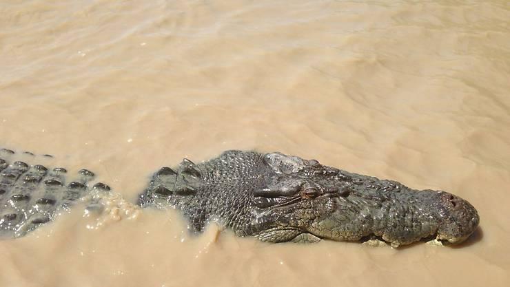 Ein Salzwasserkrokodil im Norden Australiens. Wegen mehrerer Krokodil-Attacken will ein Politiker die Jagd auf die Tiere erlauben. (Archiv)