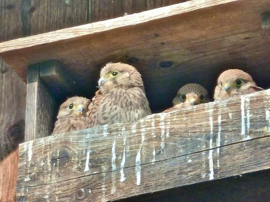 Junge Turmfalken gucken aus ihrem Nest in Urdorf