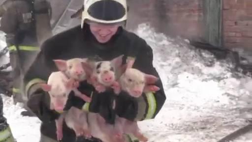 Glückliche Feuerwehrleute und dankbare Säuli: Dieses Video aus Sibirien entzückt die Massen.