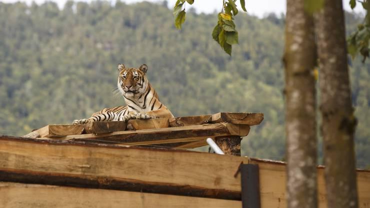 Einer der Tiger auf einer erhöhten Plattform im Siky Park