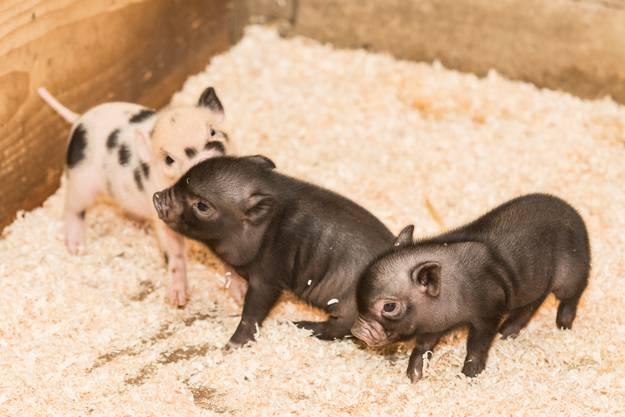 Acht Tiere sind für Minipigs ein eher kleiner Wurf.