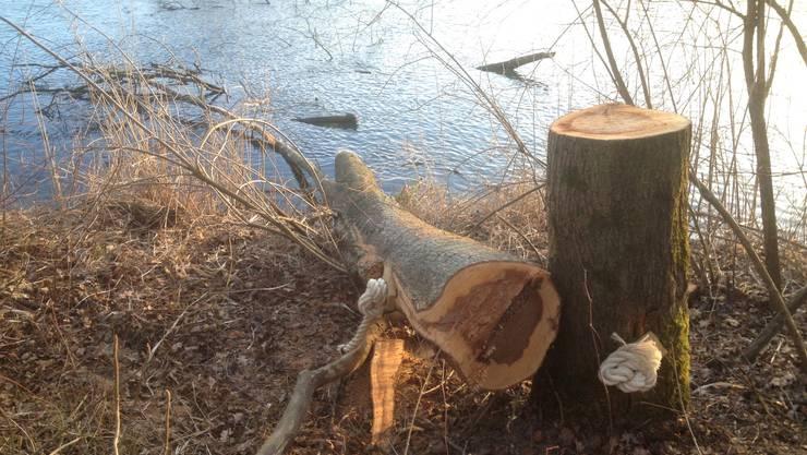 «Raubäume» liegen angebunden am Aare-Ufer in Flumenthal.