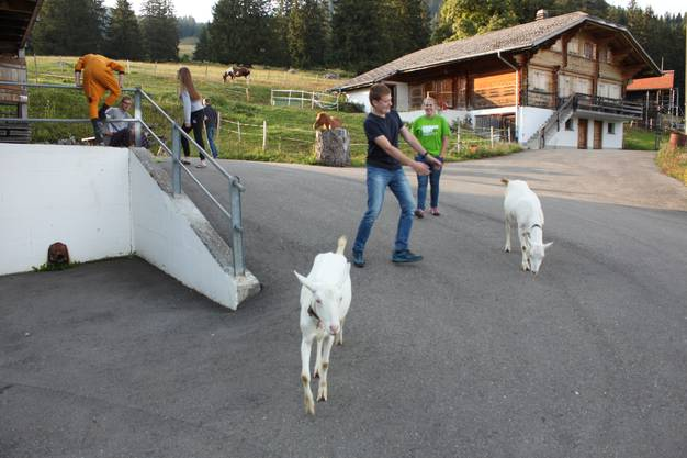 Die Ziegen vom Hof sorgten mit ihrer Neugierde für abwechslungsreiche Unterhaltung, vor allem, wenn Türen nicht geschlossen wurden.