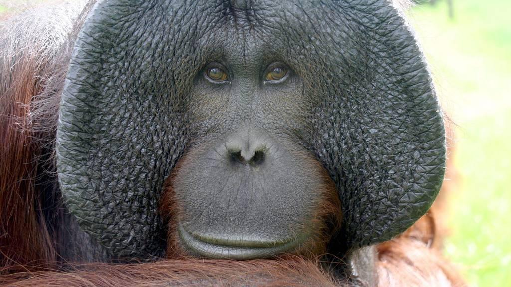 Diese Orang-Utans kommen nur auf der Insel Borneo vor.