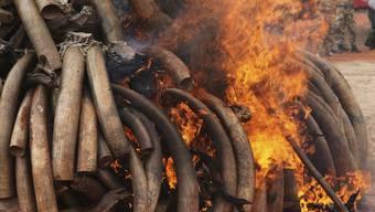 Beschlagnahmtes Elfenbein wird verbrannt (Archiv)