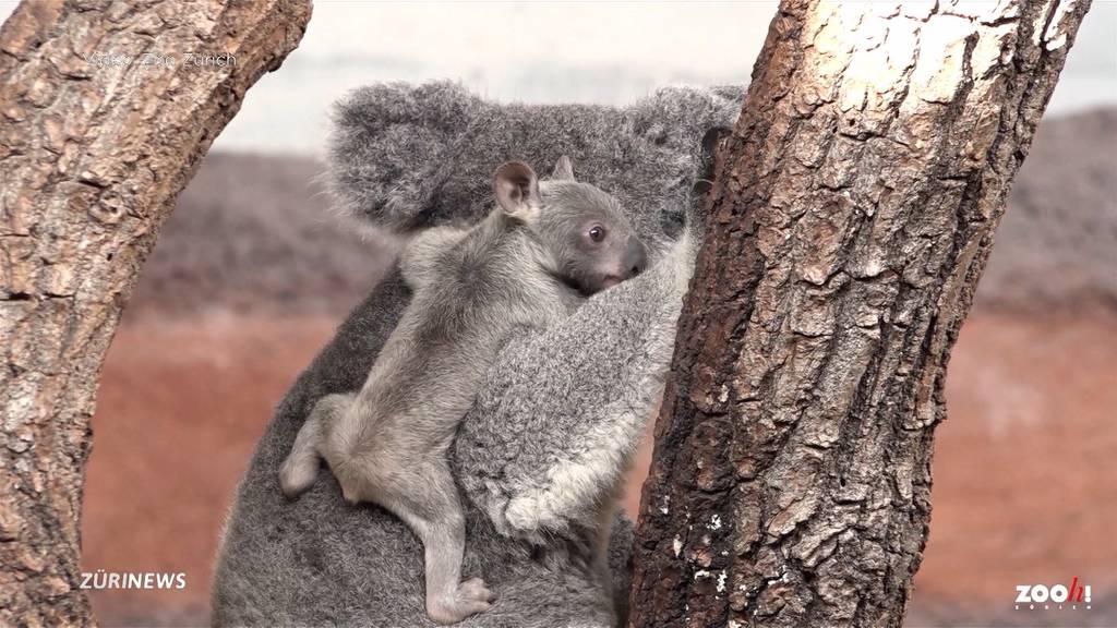 Koala-Junges im Zoo Zürich zeigt sich zum ersten Mal