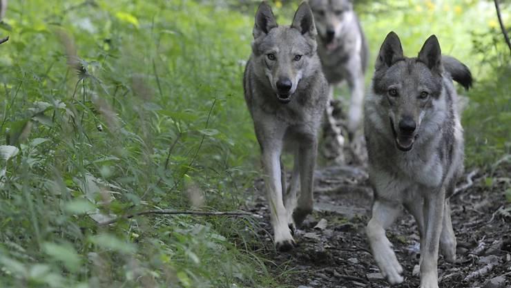Wölfe geraten ab und zu in Konflikt mit Anlagen der Zivilisation: In der Nacht auf Sonntag wurde auf dem Julierpass ein Wolf von einem Auto überfharen (Archivbild).