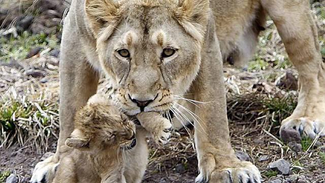 Löwenbaby erstmals in Aussenanlage