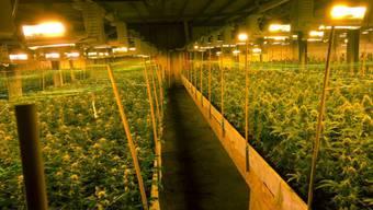 Die riesige Indoor-Hanfplantage in der Lagerhalle in Altstätten, wo sich der Überfall ereignete. (Archivbild)