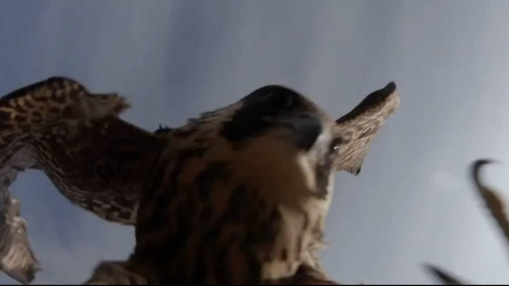Sturzflug: Drohne filmt, wie ein Falke sie vom Himmel holt