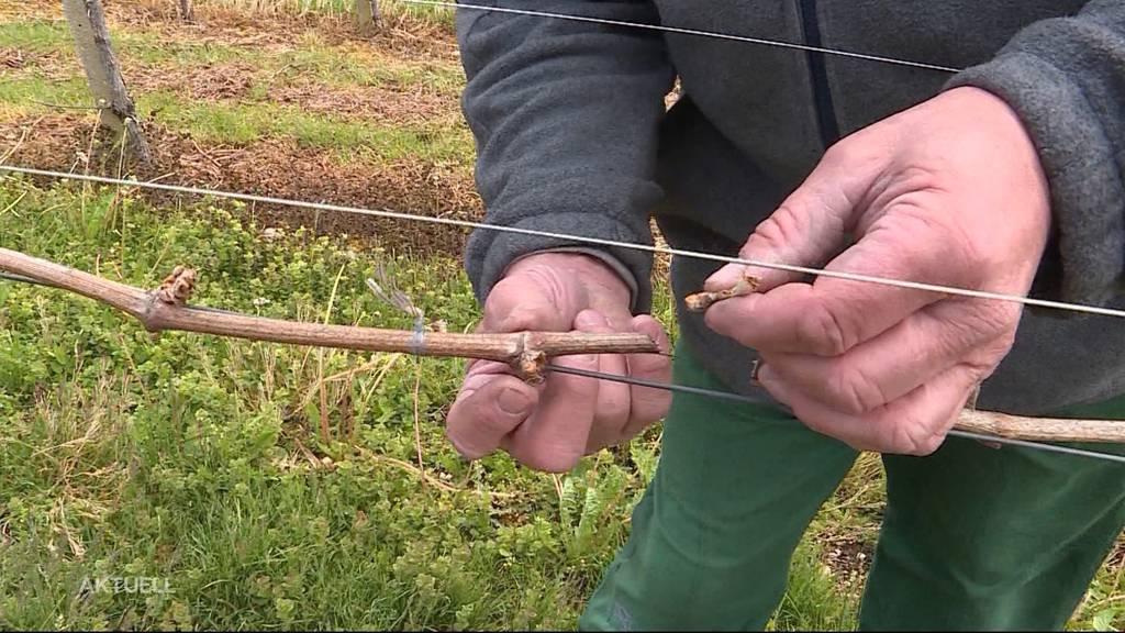 Frust wegen Frost: Bauern leiden erneut wegen Kälte