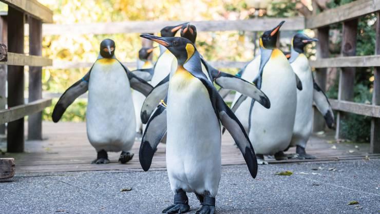 Königspinguine werden ihren Spaziergang im Zolli bald wieder aufnehmen können.