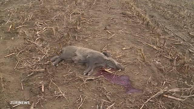 Wildschweinmörder vor Gericht