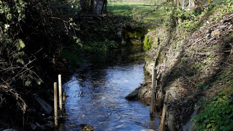 Der Biberbau am Brunnbach in Horriwil wurde weggeräumt.