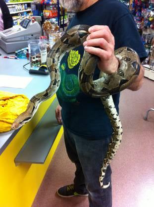 Die Boa, als sie am Freitag von der Polizei im Zoohaus abgegeben wurde.