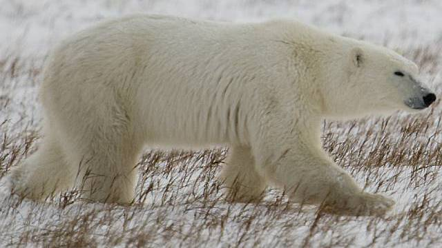 Kein umfassender Schutz für den Eisbären