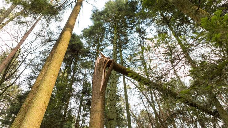 Sturm Burglind: Der Bezirk Baden kam glimpflich davon. Auf dem Foto ein umgeknickter Baum in Leibstadt im Bezirk Zurzach. Sandra Ardizzone
