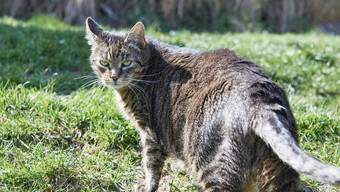 Streunende Hauskatzen dürfen per Gesetz abgeschossen werden. (Themenbild)