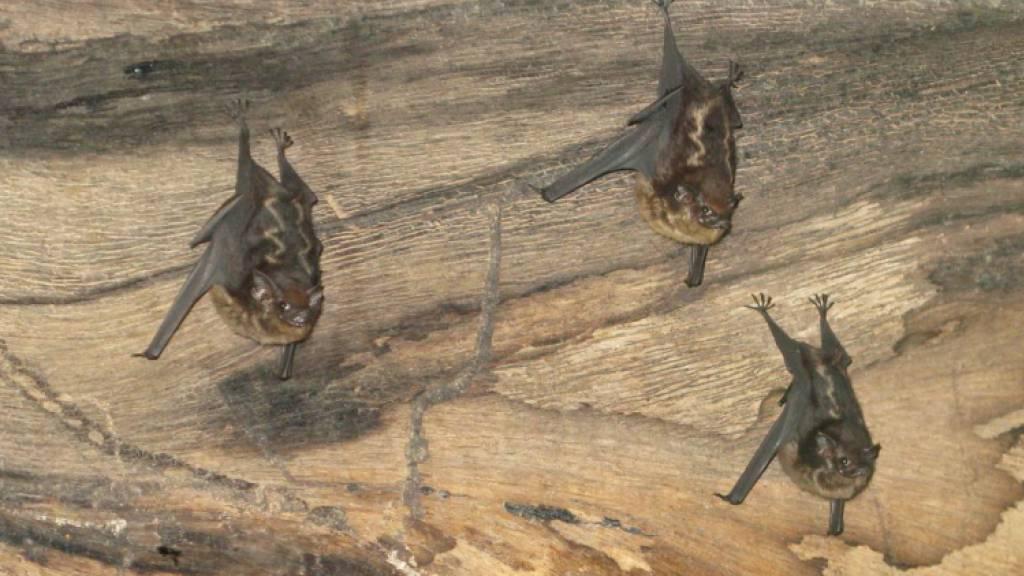 Fledermaus-Nachwuchs brabbelt wie menschliche Babys