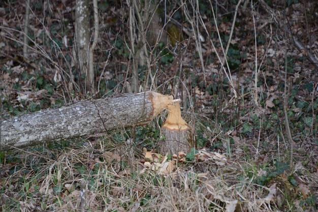 Im Gebiet Aare / Biberstein finden sich viele vom Biber gefällte Bäume