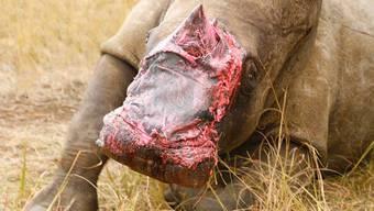 Ein Stück Elefant auf der Nase: Hauttransplantation bei Rhinozeros in Südafrika
