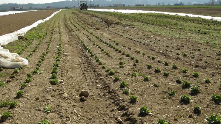 Die Salatkulturen sind in der Region angepflanzt. Wegen der Trockenheit müssen viele frühzeitig künstlich bewässert werden.  Bruno Utz Die Salatkulturen sind in der Region angepflanzt. Wegen der Trockenheit müssen viele frühzeitig künstlich bewässert werden.  Bruno Utz