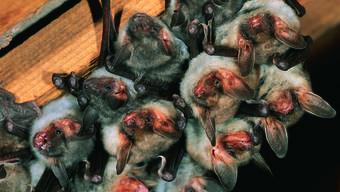 Das Grosse Mausohr haust meist in Dachstöcken.