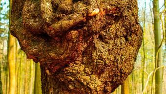 Wenn Bakterien oder Viren einen Baum befallen, entstehen solche Maserknollen.