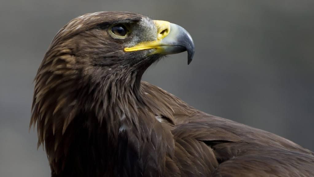 Besserer Schutz von Steinadlern: Die majestätischen Greifvögel werden oft Opfer von Bleivergiftungen. (Archivbild)