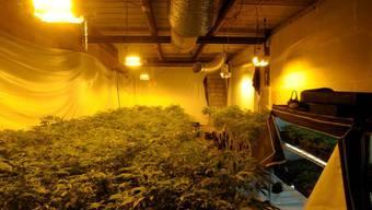Zahlreiche Pflanzen und technische Einrichtungen wurden durch die Kantonspolizei Zürich beschlagnahmt. (Foto: Hanf-Plantage in Rümlang)