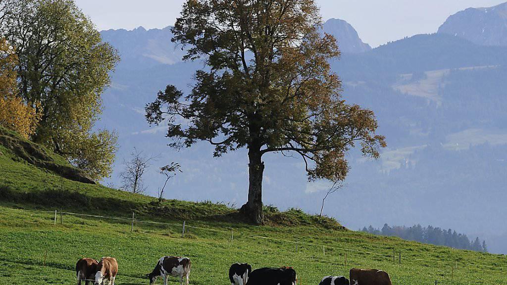 Eine Kuhherde vor dem Hintergrund der Berner Voralpen Gantrisch und Nuenenen.  Am Gantrisch kam es am Samstagnachmittag zu einem tödlichen Unfall, bei dem eine Wandererin starb. (Archivbild)